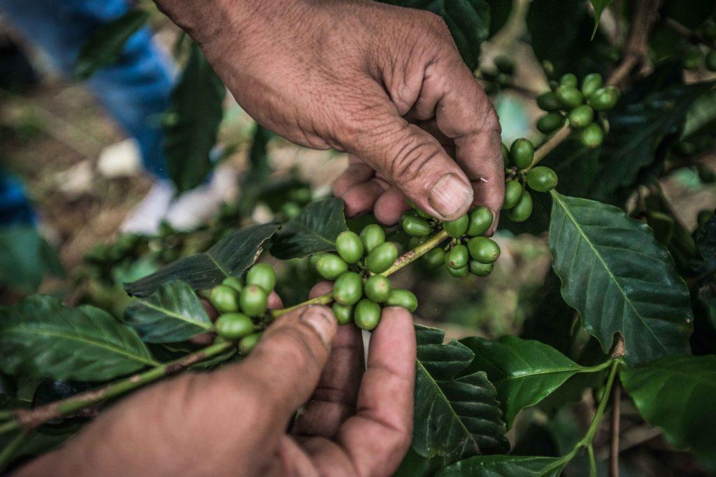 Antes de llegar a ser los granos que dan vida a nuestro delicioso café de todos los días, el café crece en un dulce fruto verde que debe ser despulpado para extraer su granos.