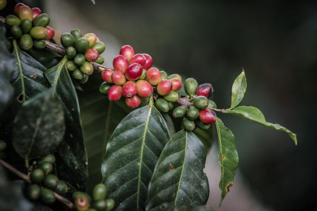 """Desde octubre y hasta marzo, el fruto del café se torna rojo transformándose en """"café cereza"""". Es aquí cuando arranca la temporada de cosecha en la cual los cafeticultores pueden recolectar los granos para llevarlos a la siguiente etapa de su proceso."""
