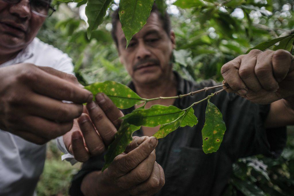 Durante todo el proceso de cultivo, los cafeticultores deben estar al pendiente de amenazas como la roya que ponen en riesgo el fruto de su cosecha y hacen que el cultivo del café sea uno de los más complejos.