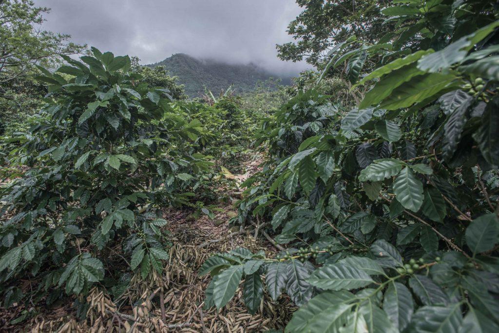 Los terrenos donde crece el café se encuentran a algunos kilómetros de las casas donde viven los cafeticultores. Para llegar a ellos hay que atravesar maleza y terrenos irregulares.