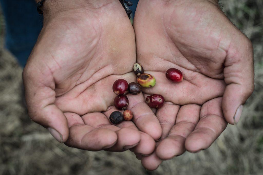 Si visitas estas tierras desde octubre y hasta marzo podrás encontrar el café cereza, como se conoce al fruto del café cuando enrojece y está listo para ser cosechado.