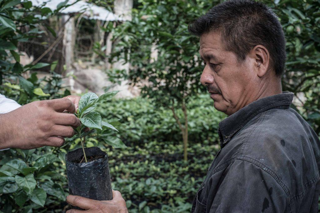 Las plantas de café pueden tardar hasta 3 años en dar sus primeros frutos, por lo cual su cosecha requiere de mucho cuidado para proteger la inversión de tiempo de los cafeticultores.
