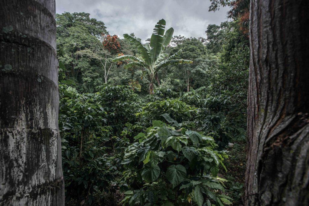 Como acompañamiento a las plantas del café, también se siembran árboles de plátano que ayudan a fertilizar la tierra donde crece y su sombra ayuda a proteger sus plantas.
