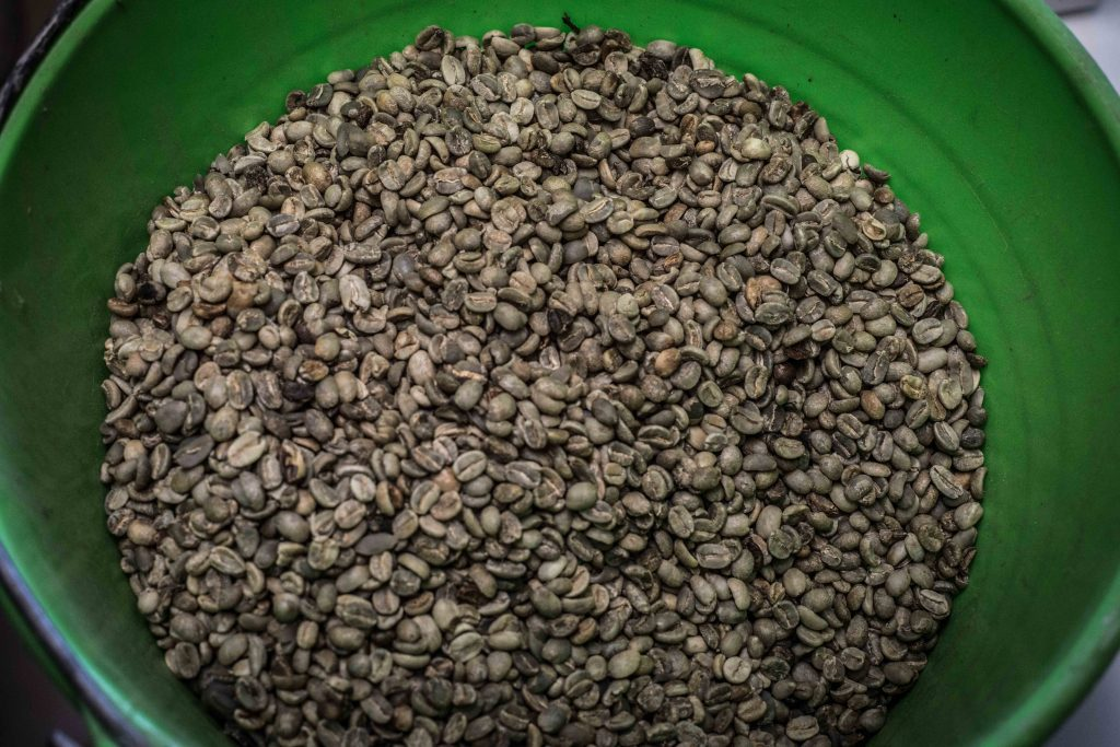 Así lucen los granos de café una vez que están secos y antes de pasar a ser tostados por primera vez.