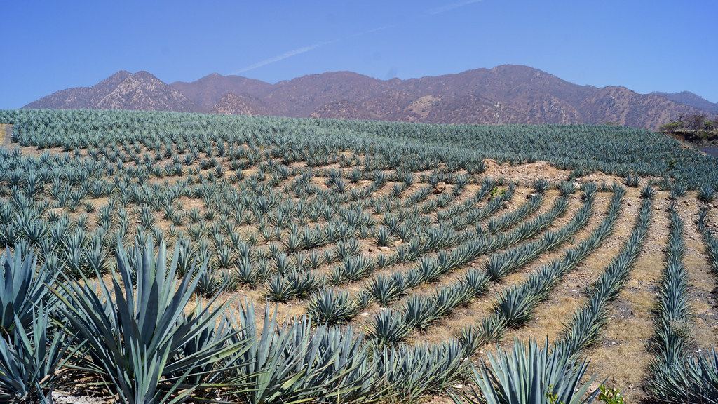 Tequila agave azul